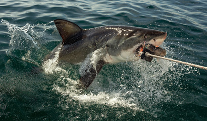 Great white shark, Carcharodon carcharias, with open mouth. Great White Shark (Carcharodon carcharias) in ocean water an attack. Hunting of a Great White Shark (Carcharodon carcharias). South Africa.