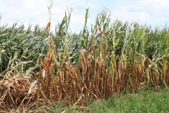 Corn field damaged by bad weather in summer. Storm on corn field