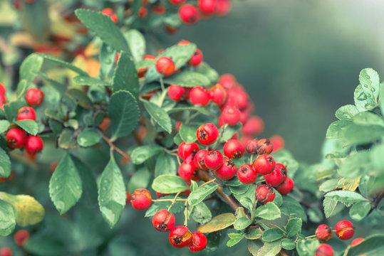 Cotoneaster horizontalis red  berries on twig macro