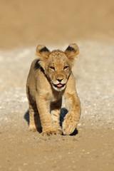Small African lion cub (Panthera leo) running, Kalahari desert, South Africa.