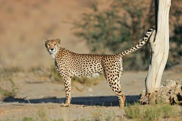 Dominant male cheetah (Acinonyx jubatus) marking its territory, Kalahari desert, South Africa.