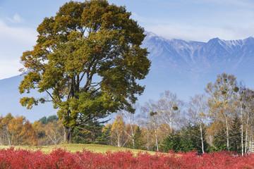 紅葉したブルーベリーとナラの木