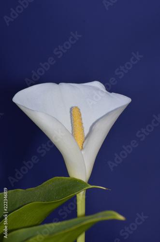 Fiore Bianco Di Calla Su Sfondo Blu Stock Photo And Royalty Free