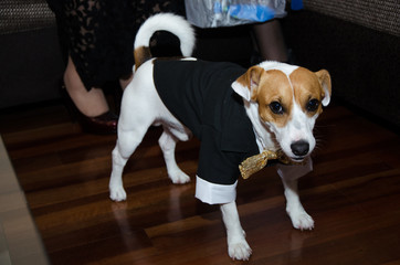 Jack Russell dog dressed smartly, dog with tie, funny photo