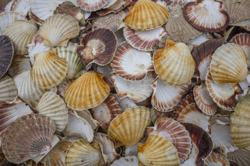 Seashell background, lots of Queen scallops