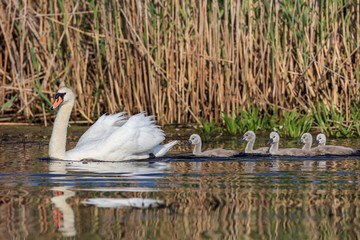 white swan with small chicks