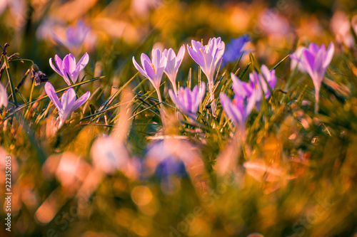 Beautiful Spring Flowers Crocuses Shot In The Grass With A Beautiful