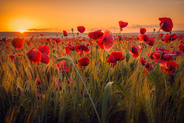 Spoed Fotobehang Klaprozen Amazing beautiful multitude of poppies growing in a field of wheat at sunrise with dew drops