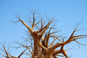 Leafless branches of baobab tree at dry season, on a background of clear blue sky