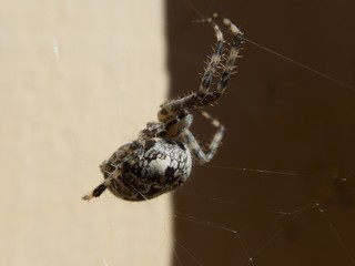 detail ofa spider on its web