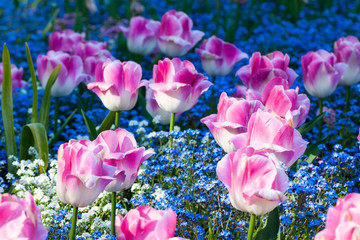 pink and white tulips in the garden