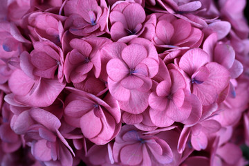 Close-up of pink hydrangea (hortensia) flower