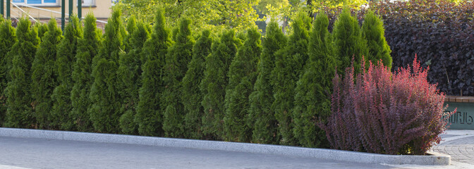 Green Hedge of Thuja Trees, nature, background Against the background of the blue sky Wall mural