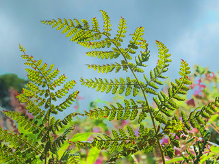 A close up of bright green wild fern leafs illuminated by sunlight glowing though the foliage against a blue cloudy sky with a blurred nature background