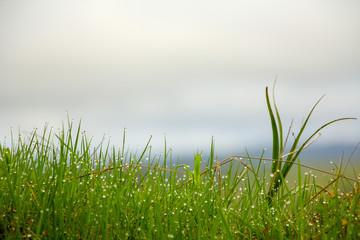 Green grass texture. Element of design.