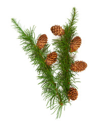 larch branch with cones isolated on white