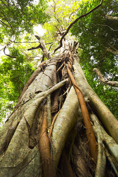 Strangler Fig in the Rainforest Tamborine Mountain Queensland