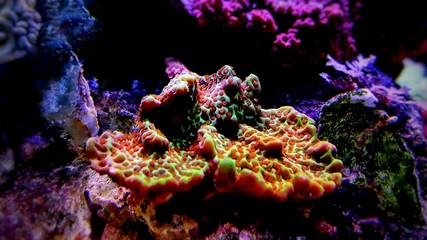 Montipora colorful SPS coral in Reef aquarium tank