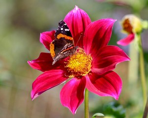 Painted Lady Butterfly feeding on Red Dahlia