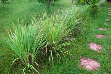 Lemon grass or Cymbopogon citratus,  Herb , Thailand