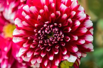 Close up pink Dahlia hybrid flower in the garden.