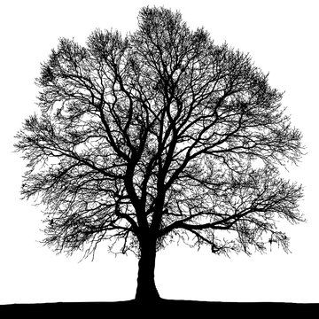 Black and white autumn tree silhouette.