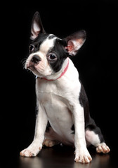 Boston Terrier Dog on Isolated Black Background