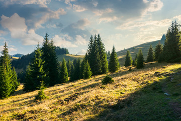 spruce forest on the grassy hill at sunset. beautiful landscape in autumn. location Apuseni mountains