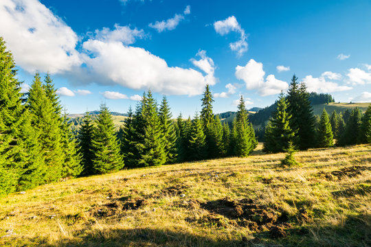 spruce forest on the grassy hill. beautiful landscape in autumn afternoon. location Apuseni mountains