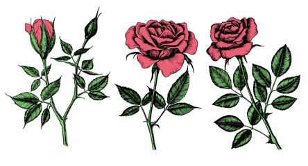 Collection of 3 Hand drawn roses isolated on white background. Elements for design.