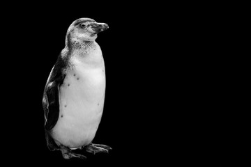 penguin isolated on black background