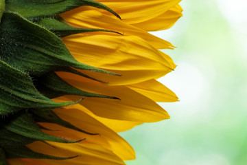Natural sunflower background.