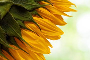 Natural sunflower background.