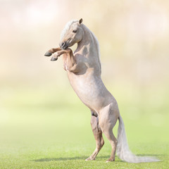 Fototapete - Palomino Miniature Horse with long white tail rearing on grass.