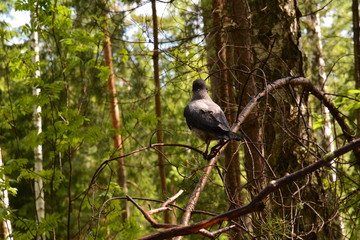 grey crow in the forest