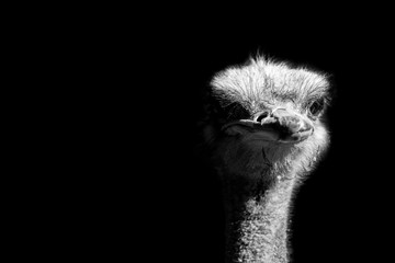 Photo sur Aluminium Autruche ostrich portrait isolated on black background