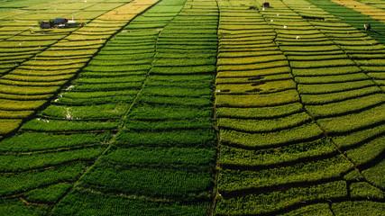 bali indonesia drone canggu aerial pano rice matrix