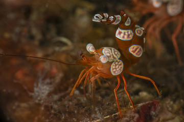 Sexy Shrimp (Thor amboinensis). Picture was taken in Lembeh strait, Indonesia