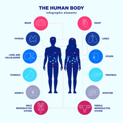 Human body infographic elements, male and female silhouettes and internal organs line icon set, vector flat design, medical graphic signs. Location of internal organs anatomy poster for clinics.