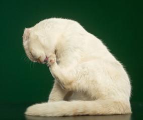Scottish Fold Cat isolated in studio