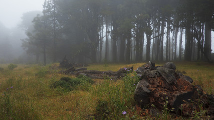 Foggy, ghostly forest, with creepy, dark trees, spooky morning light before or after rain in El Hierro, Canary Islands, Spain