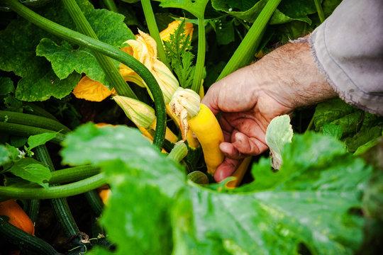 jardin potager organique naturel biologique légumes courges et potirons  de la terre à la cuisine