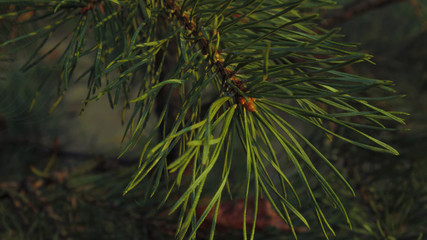 Green pine branch of a tree