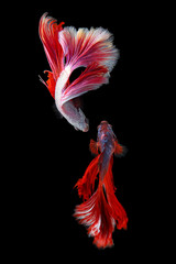Rhythmic of couple red - white betta fish, siamese fighting fish betta isolated on black background