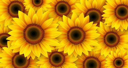 Sunflowers background, summer flowers vector illustration.