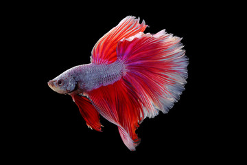 Rhythmic of red - white betta fish, siamese fighting fish betta isolated on black background