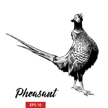 Vector engraved style illustration for posters, decoration and print. Hand drawn sketch of pheasant in black isolated on white background. Detailed vintage etching style drawing.