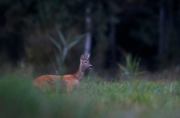 Roe deer stands in a forest near the village of Rum