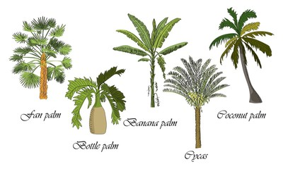 Vector drawn set of bottle, fan, coconut, banana palm, cycas tree on white background in a sketch style. Exotic collection.