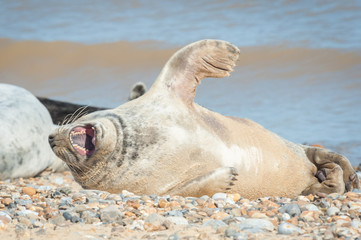 basking grey seal yawning on a stony beach